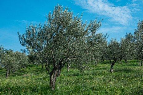 Les très nombreux bienfaits de l'huile d'olive