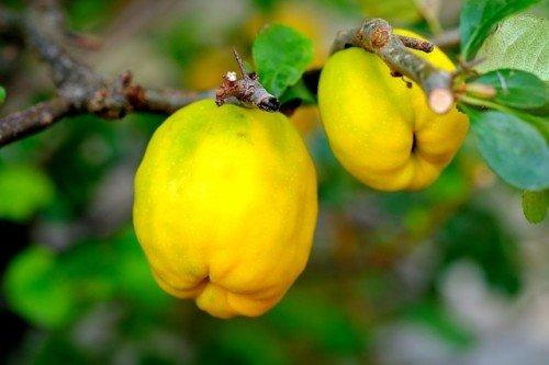 Photo of Le coing : tout sur ce fruit qui vous veut du bien !