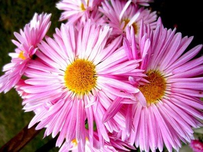 Les asters, dans le langage des fleurs