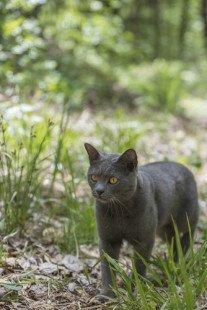 Le chat chartreux en balade