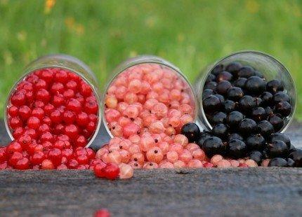 Les variétés de groseilles