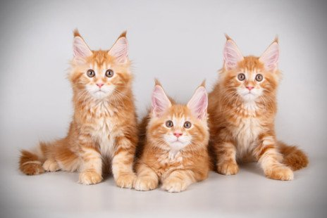 Les chattons Maine Coon