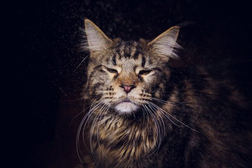 Photo of Le Maine Coon, le géant américain
