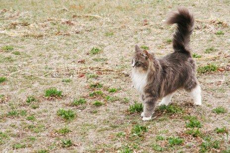 Les caractéristiques du chat Maine Coon