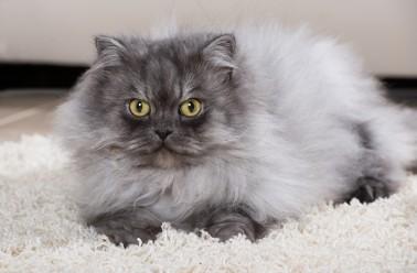 le chat persan focus sur l 39 un des chats pr f r s au monde. Black Bedroom Furniture Sets. Home Design Ideas
