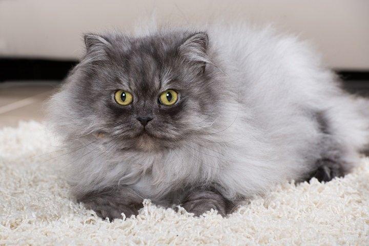 Tous les secrets du chat persan