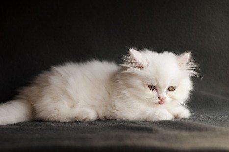 Un chaton persan