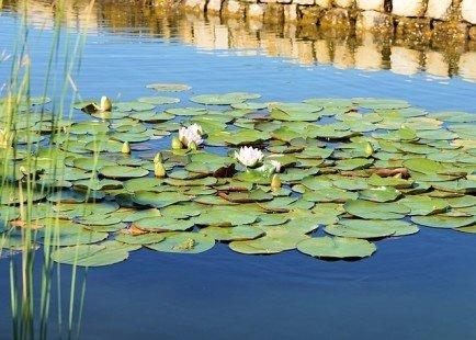 Aménager son bassin avec des plantes aquatiques