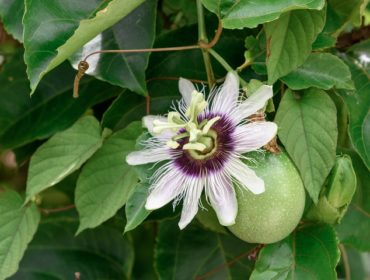 Plantes Grimpantes Definition Varietes Et Utilisation Toutvert