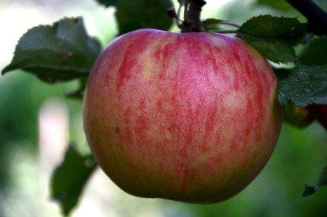 Pomme : quelles sont ses propriétés ?