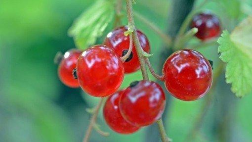 Groseille : un fruit aux multiples propriétés