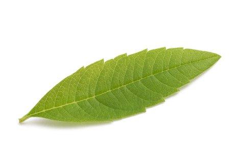 Des feuilles légèrement dentées