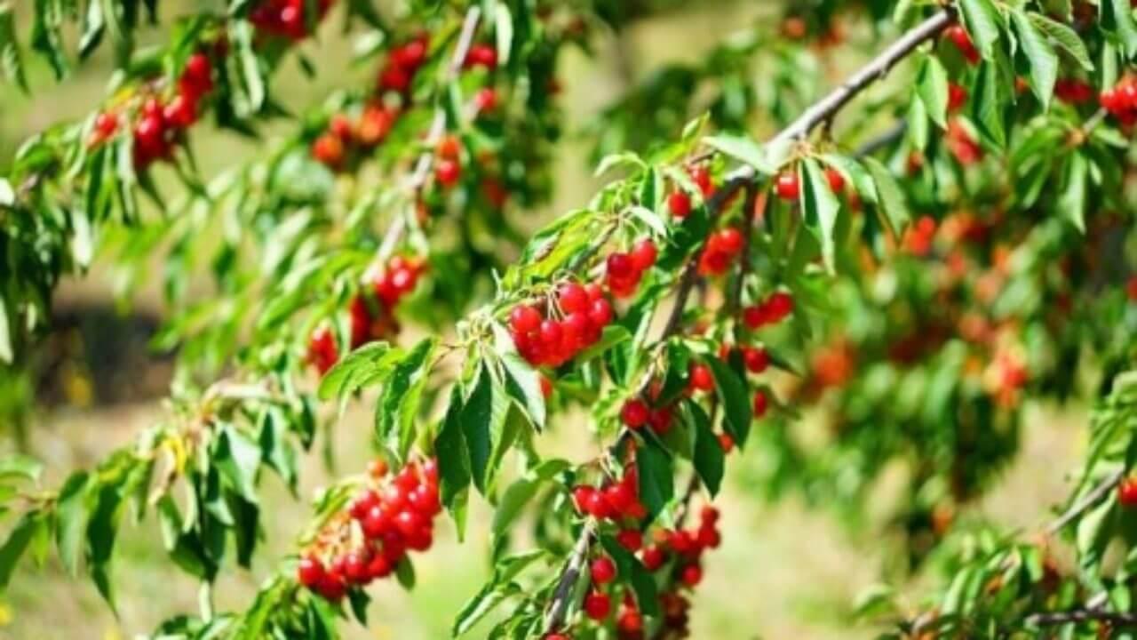 Comment Planter Un Arbre Fruitier arbres fruitiers : idéaux pour avoir des fruits savoureux à