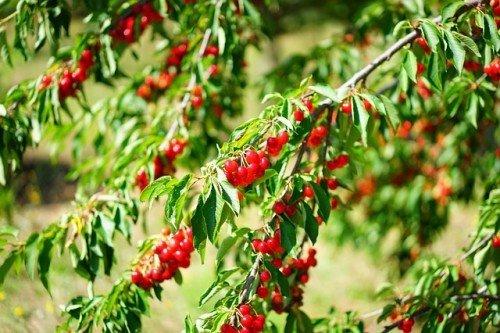 Les secrets des arbres fruitiers