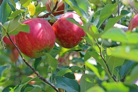 La plantation des arbres fruitiers