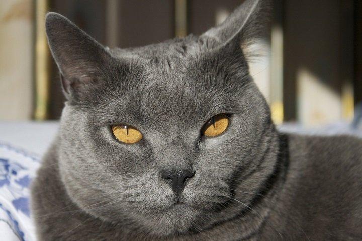 Photo of Le chat Chartreux, celui de Colette et du Général