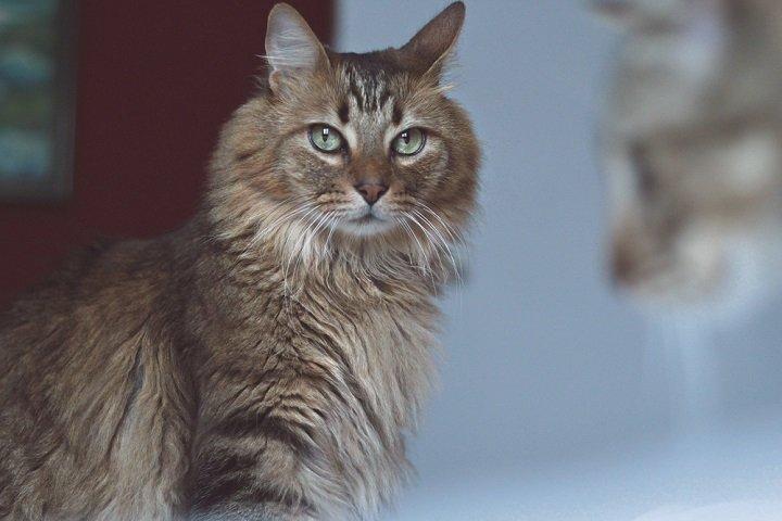 Photo of Le chat norvégien, presque originaire de la forêt