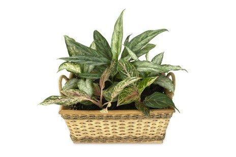 Plantes d'intérieur pour ombre