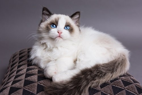 Photo of Le Ragdoll, la poupée made in USA