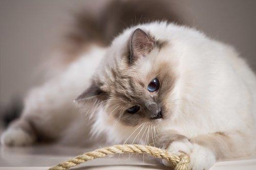 Le sacré de Birmanie, un chat au regard caractéristique