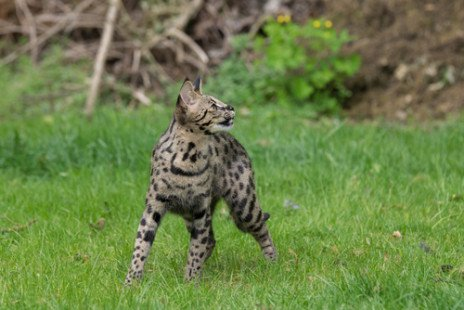 Le savannah, à l'image du serval
