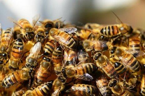 Apiculture : quelles abeilles choisir ?