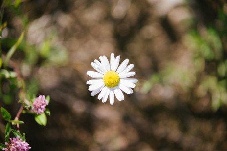 Sa fleur à capitules