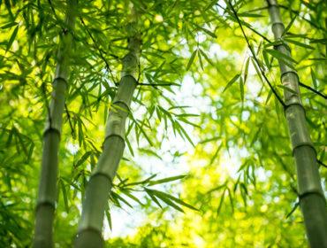 Tout Savoir Sur Le Bambou Plantation Et Entretien Au Jardin Toutvert