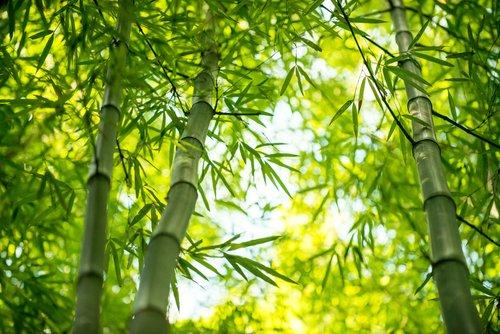 Tous les secrets du bambou