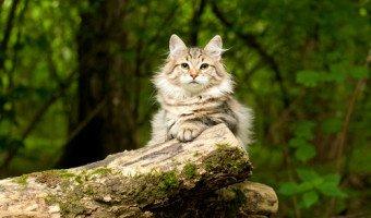 Le chat Sibérien, un chat au poil