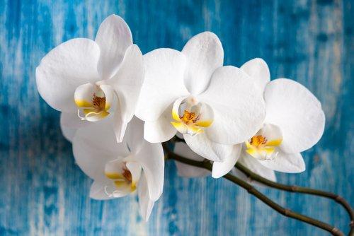Précieuse et délicate orchidée