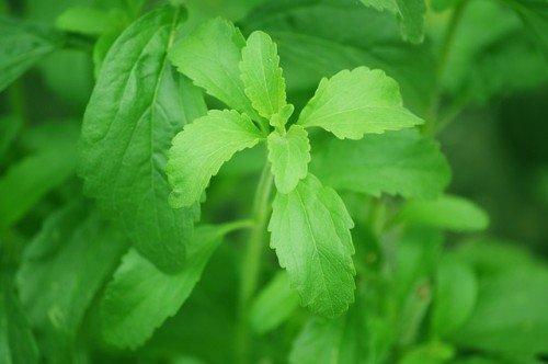 La plante de stévia