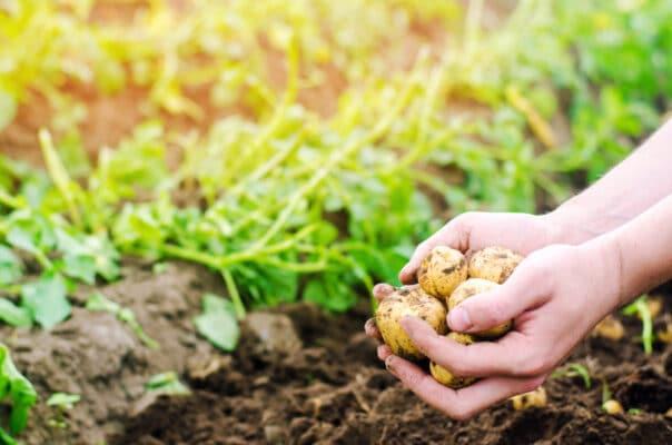 Que faire pousser en avril dans votre potager ? Pommes de terre tenues dans une main