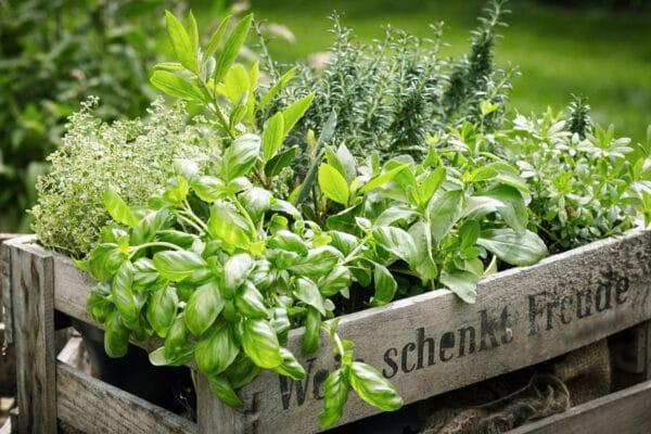 Caisse en bois contenant des herbes aromatiques : basilic, thym, sarriette