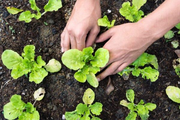 Mains de jardinier plantant des plants de salades