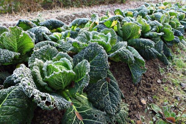 Que faire pousser en janvier dans votre potager ? Rangées de choux verts de milan