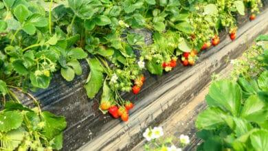 Belles fraises retombant sur une bâche de culture