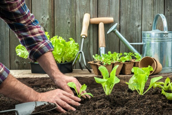 Homme plantant des pieds de salades dans la terre