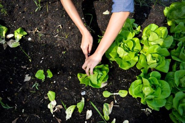 Que faire pousser en février dans votre potager ? Récolte de salade en climat chaud