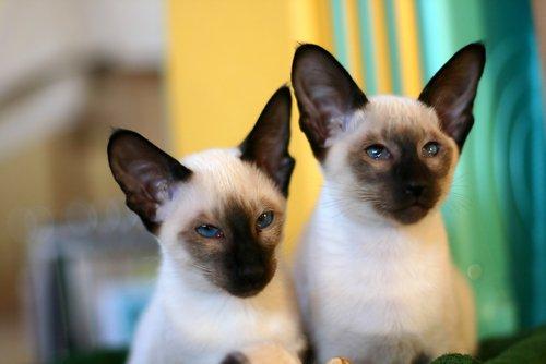 Pour tout savoir sur le célèbre chat siamois
