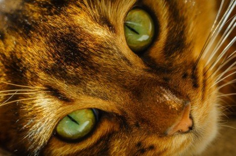 Le chat Somali, attachant et intelligent