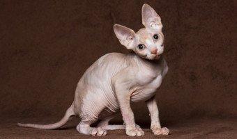 Le chat sphynx, le fameux chat nu