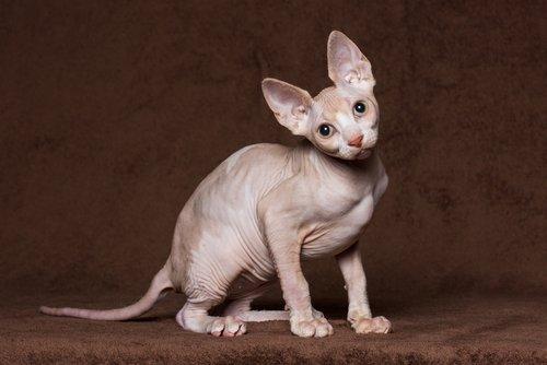 Sphynx : les caractéristiques de ce chat nu