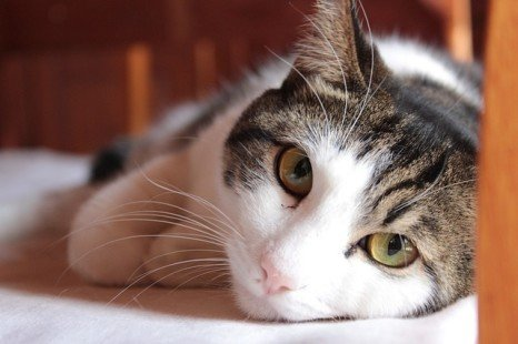 Avoir un chat : les bienfaits de cet animal sur son maître