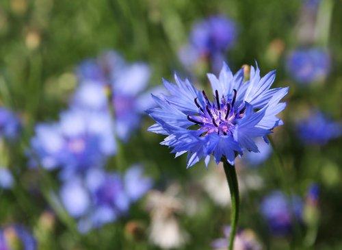 Centaurée, une plante aux vertus insoupçonnées