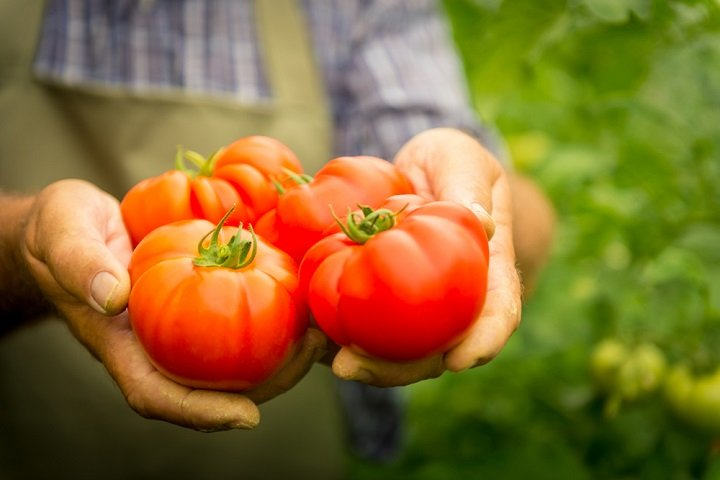Photo of Comment planter des tomates, les stars du potager ?
