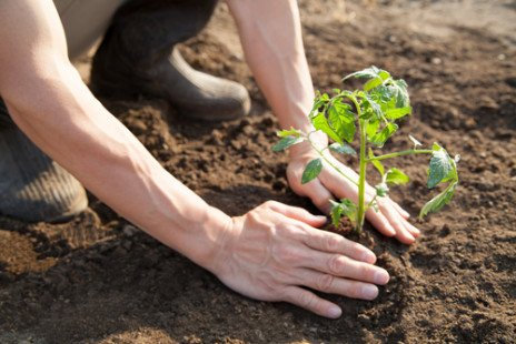 Comment planter des tomates ?