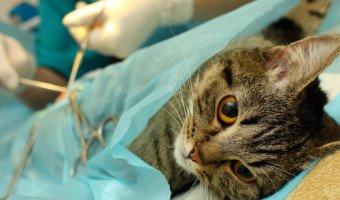 Stérilisation du chat, une bonne opération