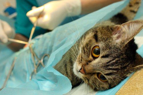 Stérilisation du chat : pourquoi le faire ?