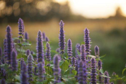 Agastache : la plante médicinale du poumon